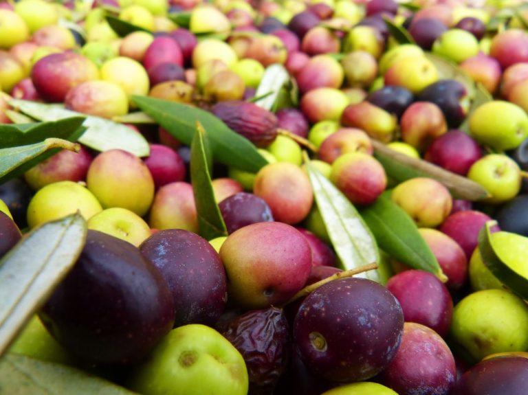 Rabiega Olive Harvest